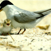 Adult Least Tern and chick. Photo by Audubon Florida.