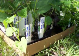 Small vegetable plants waiting to be planted in community garden.