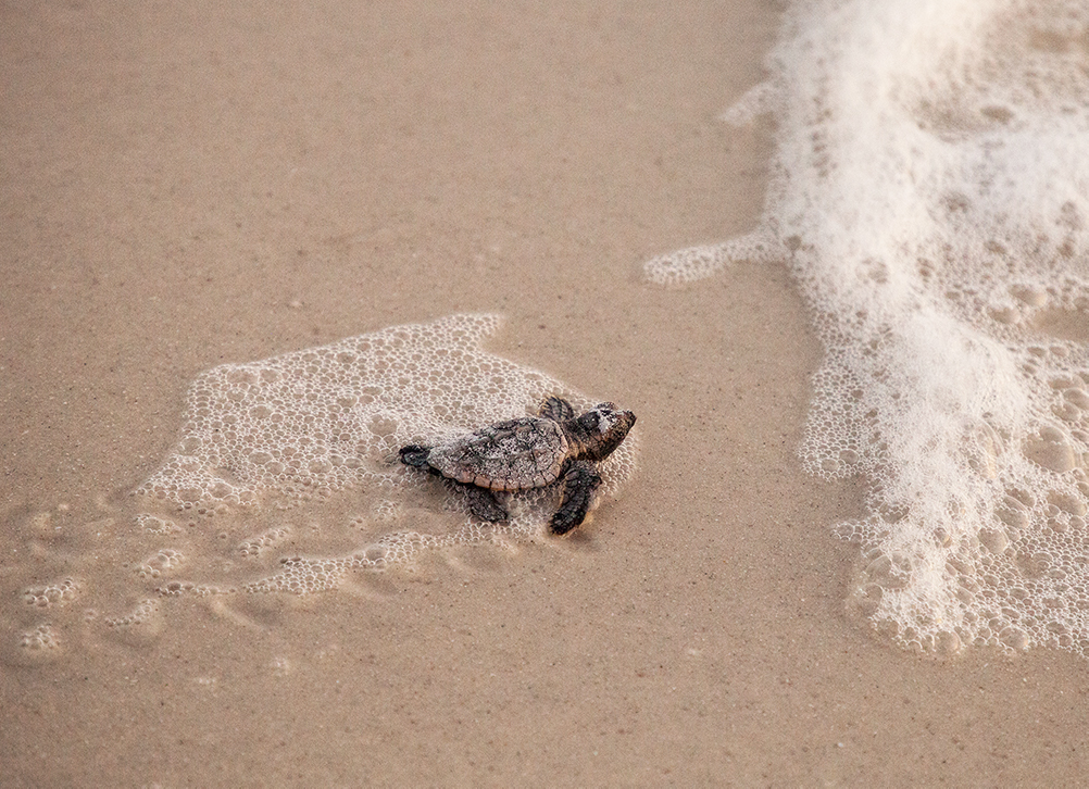 Cassill said because females diversify reproduction in unpredictable patterns over time and space, nearly two-thirds of loggerhead sea turtle hatchlings made it into the Gulf of Mexico.
