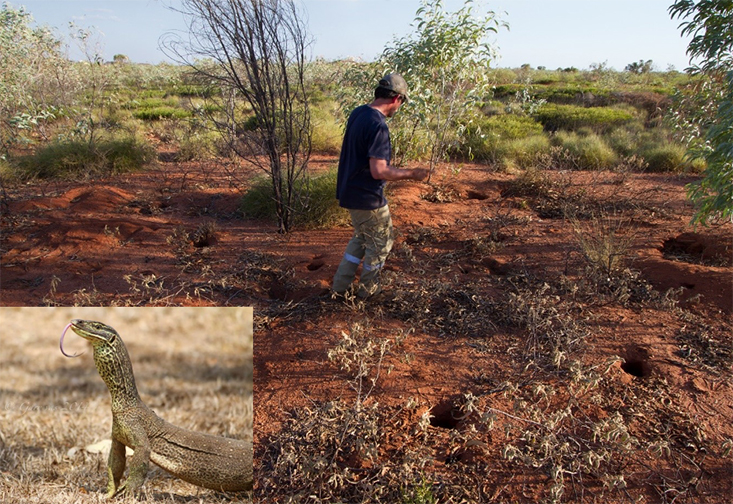 Sean Doody, assistant professor and graduate director of integrative biology at the USF St. Petersburg campus, studies the nesting biology of monitor lizards in Australia.